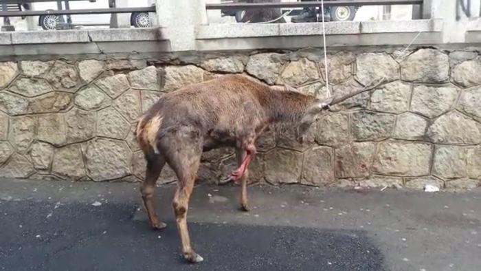 Cervo ferito da cani si rifugia in città