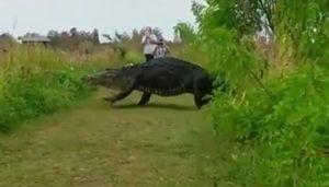 YOUTUBE Coccodrillo gigante filmato in Florida: è lungo quasi 4 metri