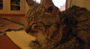 Morto Ogghy, il gatto disperso tornato a casa 2 anni dopo percorrendo 140 km