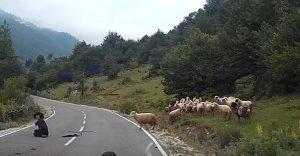 YOUTUBE Pecora travolge donna pastore in strada: finisce malissimo