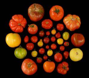 Pomodori, così la genetica gli restituirà il sapore antico e perduto