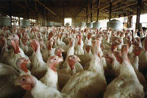 Aviaria: un caso in Veneto, 20mila tacchini saranno abbattuti
