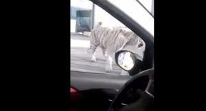 YOUTUBE Tigre fugge da circo, incontro ravvicinato con automobilista