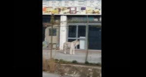 Tigre sedata e catturata a Palermo: era scappata da circo