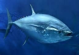 Un tonno pinna blu