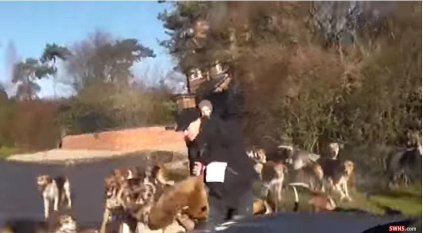 YOUTUBE Caccia alla volpe, video shock: viene sbranata dai cani