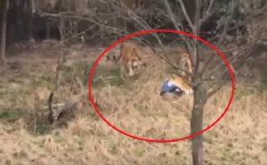 Scavalca la recinzione dello zoo e affronta tre tigri: sbranato