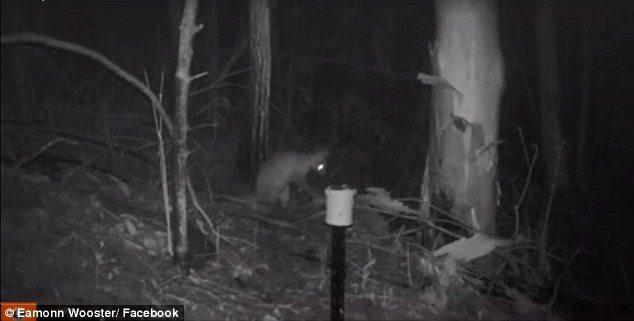 Misteriosa creatura in Australia. Sembra un incrocio tra gatto e wallaby2