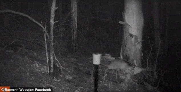 Misteriosa creatura in Australia. Sembra un incrocio tra gatto e wallaby3