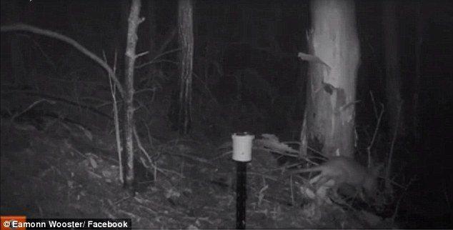 Misteriosa creatura in Australia. Sembra un incrocio tra gatto e wallaby