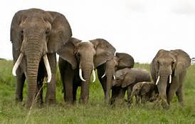 Un branco di elefanti
