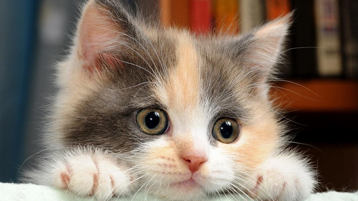 Festa del Gatto, 17 febbraio: come è nata, i motivi della ricorrenza