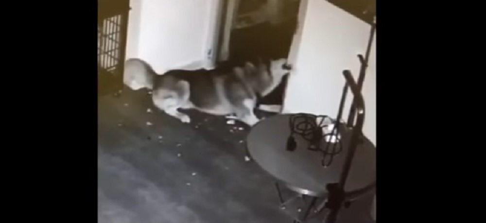 YOUTUBE Husky rinchiuso apre la sua gabbia e poi libera gli altri cani