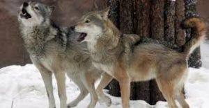Lupi, rischio riapertura caccia: Wwf e radicali protestano contro il piano