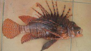 Pesce scorpione, prima segnalazione nelle acque italiane: è pericoloso per l'uomo