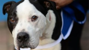 Londra, azzannato dal suo cane: muore dissanguato durante documentario