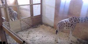 April, la giraffa incinta: una webcam mostra la gravidanza (e il parto) live DIRETTA VIDEO