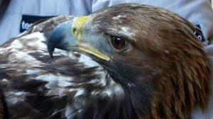 Trentino: l'aquila reale torna a volare dopo due mesi di cure