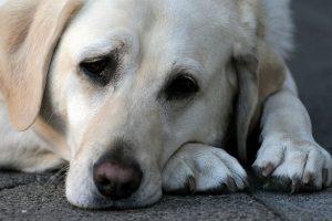 Denis Gregianin fa un incidente e va in coma: il suo cane non tocca più cibo