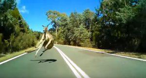YOUTUBE Canguro spunta all'improvviso sulla strada: paura per il ciclista