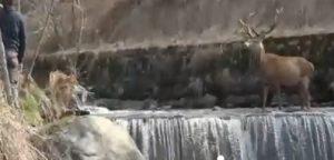 Cervo inseguito da cane nel torrente: prima fugge poi lo punta con le corna