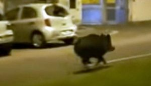 Roma, porta il cane a passeggio al parco e si imbatte in un cinghiale