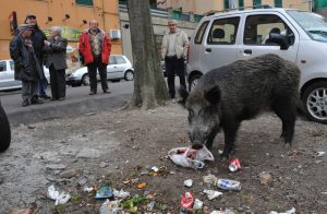 Cinghiali a Genova: reti metalliche ed elettrificate per fermarli