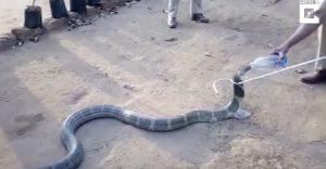 Il cobra di tre metri e mezzo che beve dalla bottiglia