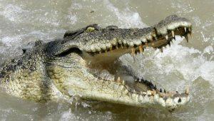 Coccodrillo azzanna diciottenne: si era tuffato in acqua per una scommessa con gli amici