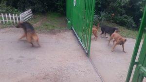 YOUTUBE Quattro cani arrabbiatissimi. Cancello si apre, ecco che succede
