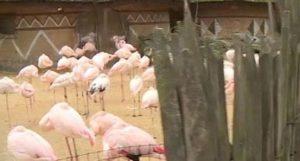 Repubblica Ceca: fenicottero ucciso a calci e sassate da tre bambini in uno zoo