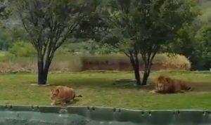 La leonessa si lancia contro i turisti ma cade nel fosso