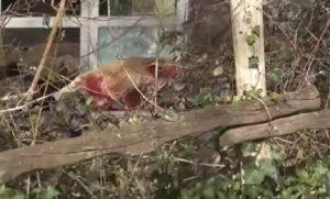 Orso, raro esemplare scappa da zoo in Germania: guardiani costretti ad ucciderlo