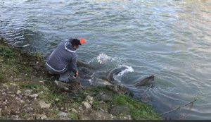 Roma, pesce siluro pescato nel Tevere