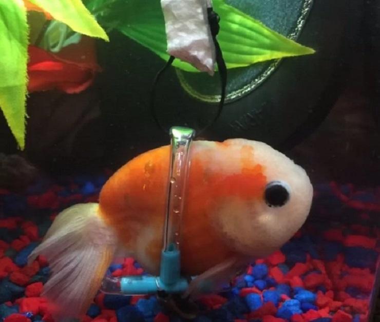 Il pesce rosso con la sedia a rotelle per un disturbo alla vescica FOTO