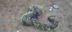 Serpente ricoperto di aculei di porcospino