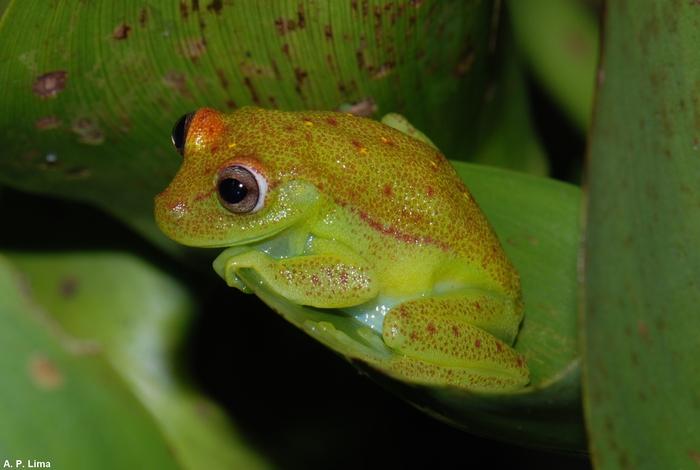 Ecco la rana fluorescente