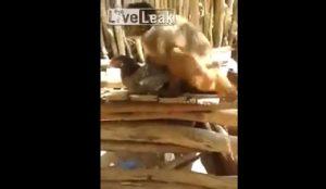 YOUTUBE Scimmia violenta una gallina, ma la faccia del pennuto...