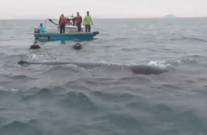 Sub salvano balena in mare: lei li ringrazia