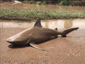 Australia, trovano uno squalo in città dopo l'inondazione