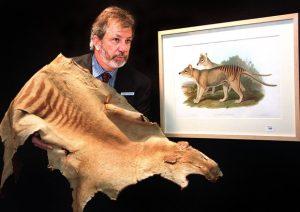 Tigre Tasmania estinta 80 anni fa: una spedizione per cercarla, è tornata?