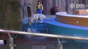 YOUTUBE Solidarietà tra tigri nel crudele circo cinese: aiuta l'amica caduta in acqua