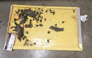 Topi e mosche nel deposito del pane: azienda multata per 300mila sterline
