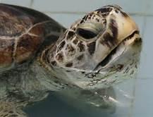 La tartaruga ''Bank''