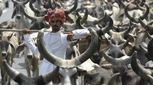 India. Il Gujarat punirà con l'ergastolo chi macella o trasporta carne di mucca