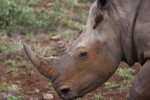 Parigi, uccidono rinoceronte allo zoo e tagliano corno con motosega