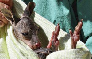 YOUTUBE Cucciolo di wallaroo vive nel marsupio artificiale dopo la morte della madre