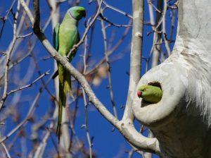 Il parrocchetto dal collare, in Europa è invasione del pappagallo africano