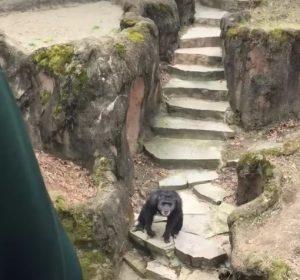 YOUTUBE Scimpanzé allo zoo si arrabbia e lancia...