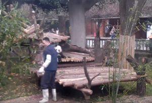 Cucciolo panda non molla la gamba dell'addetto del bambù